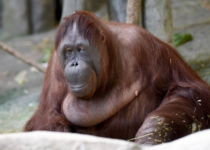 A 54-year-old Bornean orangutan named Maggie, pictured, was euthanized Friday at a Chicago zoo after declining health.