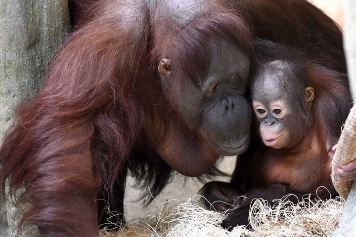 Maggie was nearly 55 years old when she died on Friday, the zoo said. She's seen here caring for a surrogate baby last year.
