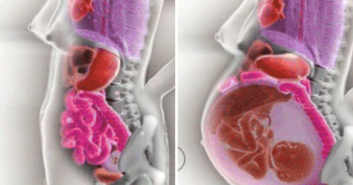 How A Woman U0026 39 S Internal Organs Move During Pregnancy Shown In A Fascinating Gif