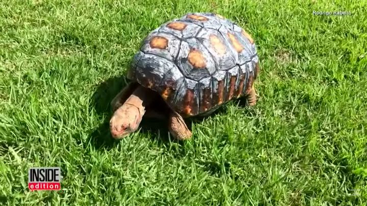 Tortoise Injured In Fire Gets New HandPainted DPrinted Shell - Tortoise gets 3d printed shell
