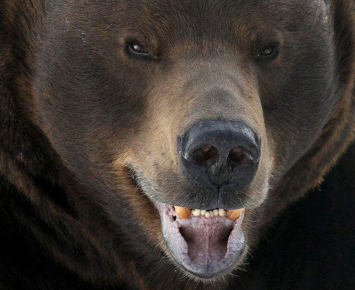 This brown bear lives in a Russian zoo, but you probably shouldn't bother him either.