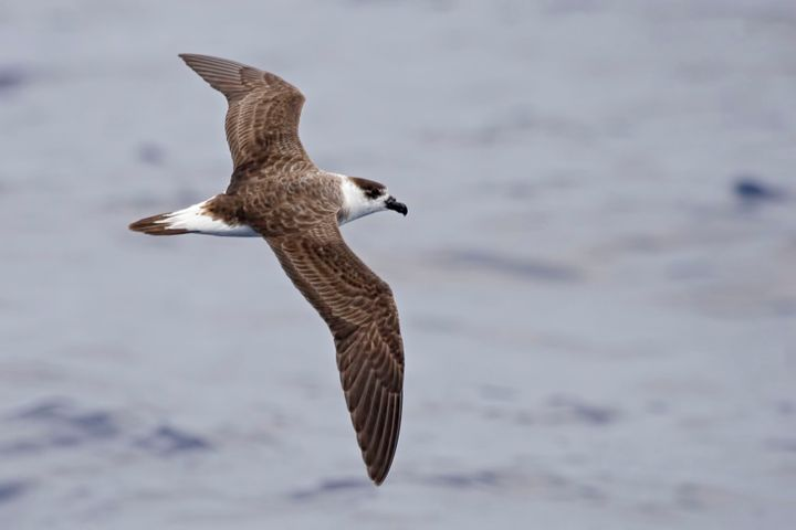 The Black-capped Petrel, pictured above, ranks among the most threatened bird species in North America, a new report&nbs