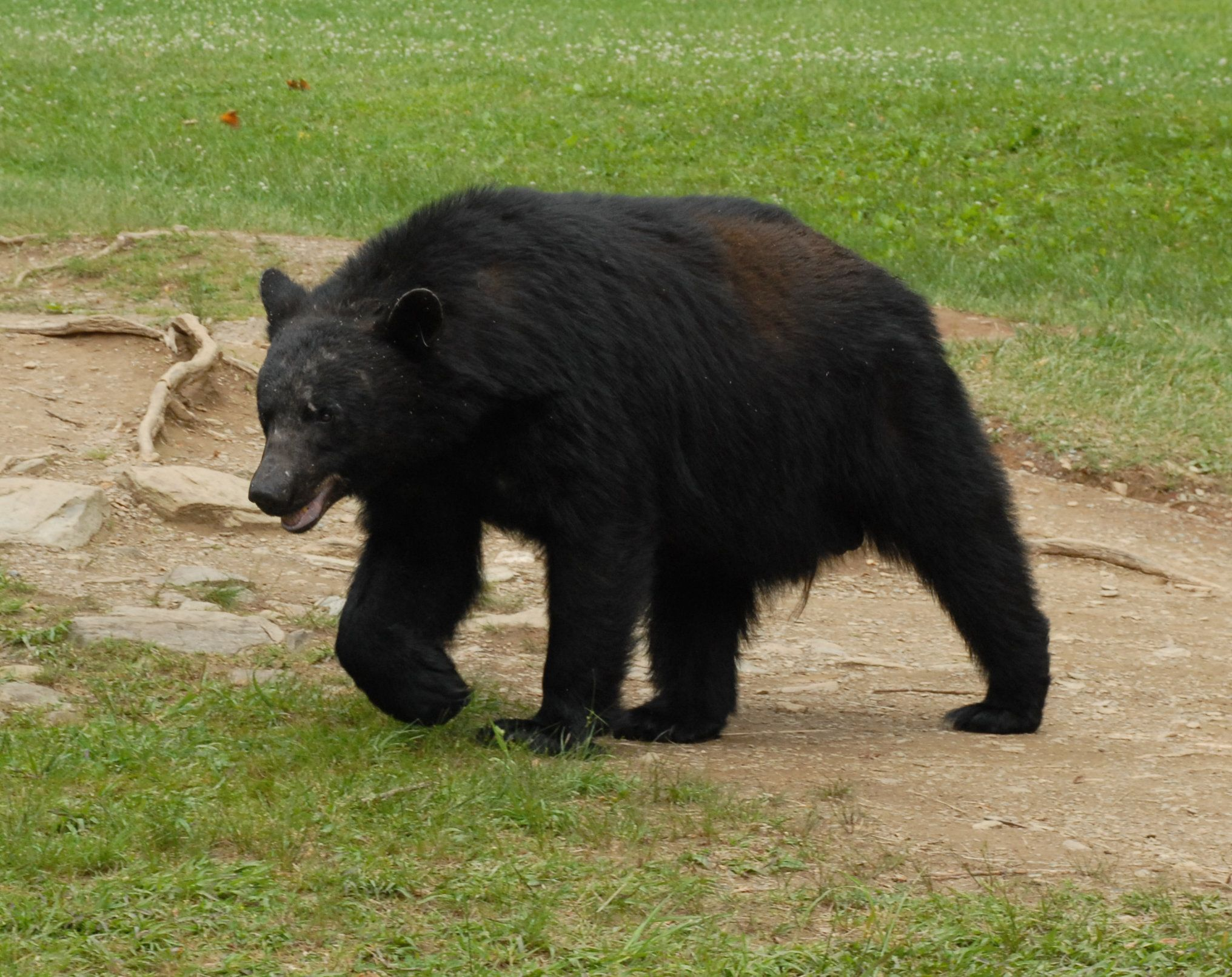 After dining on cicadas at Cades Cove in Great Smoky Mountains National Park, a boar black bear crosses a field while en route to his next chow hall. Black bears are commonly sighted in Cades Cove, a region in Tennessee once extensively farmed by 'mountain people.'
