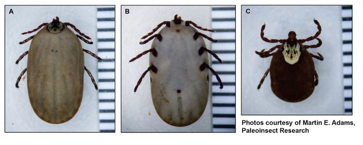 The top and bottom view of the bloated tick found on Ollie alongside an image of a regular-sized tick.