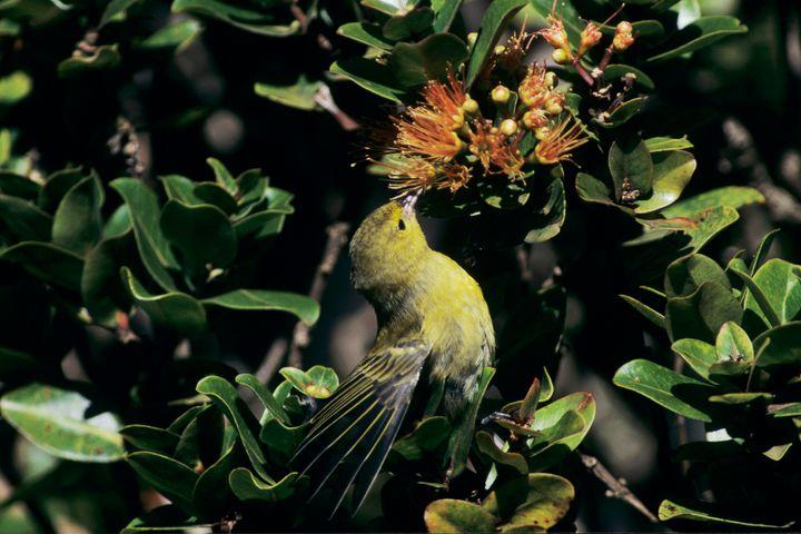 A female Anianiau feeds on the blossom ofan'Ohi'a lehua treein Kauai'sAlakai Swamp.