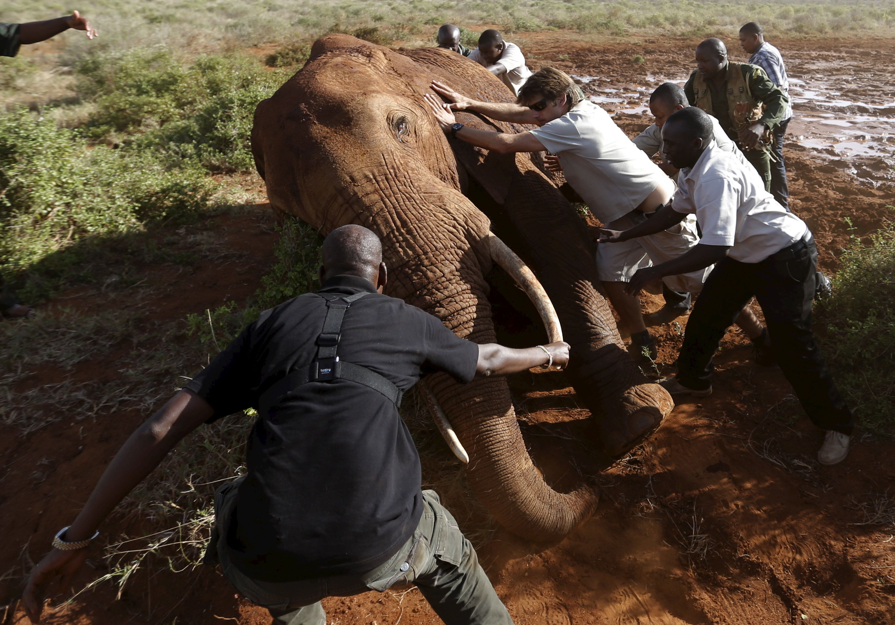 Kenya Wildlife Service and Save The Elephants staff push an elephant as they undertake the collaring of ten elephants ranging near the Standard Gauge Railway to fit them with advanced satellite radio tracking collars in Tsavo National Park, Kenya March 15, 2016. REUTERS/Goran Tomasevic
