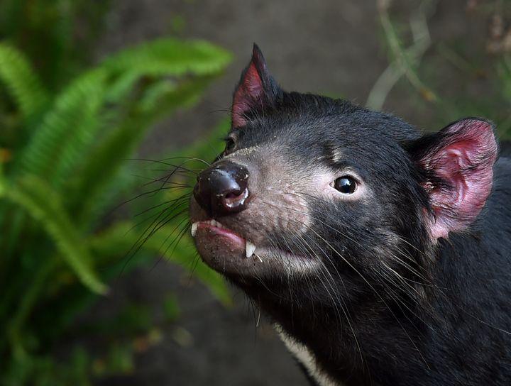 A Tasmanian devil up close, seen at the San Diego Zoo.