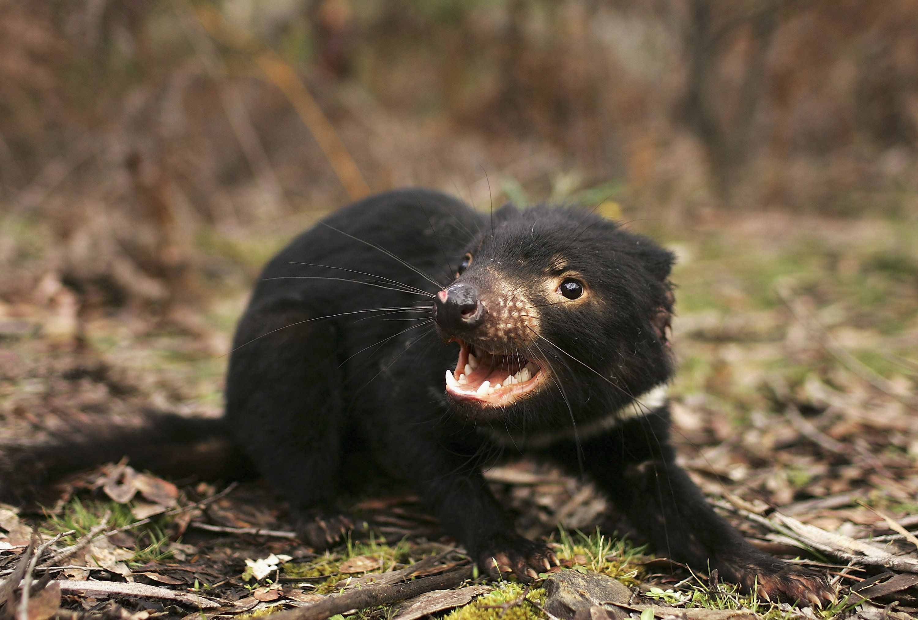Tasmanian devils are endangered due to acancer that has been sweeping through the wildpopulation, but a newly dis