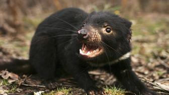 HOBART, TAS - OCTOBER 10:  A Tasmanian Devil is released in the wild after being captured to check for signs of the Devil Facial Tumor Disease October 10, 2005 near Fentonbury, Australia. The Devil, a native marsupial unique to Tasmania, is under threat from Devil Facial Tumor Disease (DFTD) which is decimating numbers throughout Tasmania. Several devils are being monitored under quarantine situations on the mainland, while another group have been moved to Maria Island, to form an 'insurance population' should the disease spread. The Devils have just been listed as a 'vulnerable' species due to the disease.  (Photo by Adam Pretty/Getty Images)