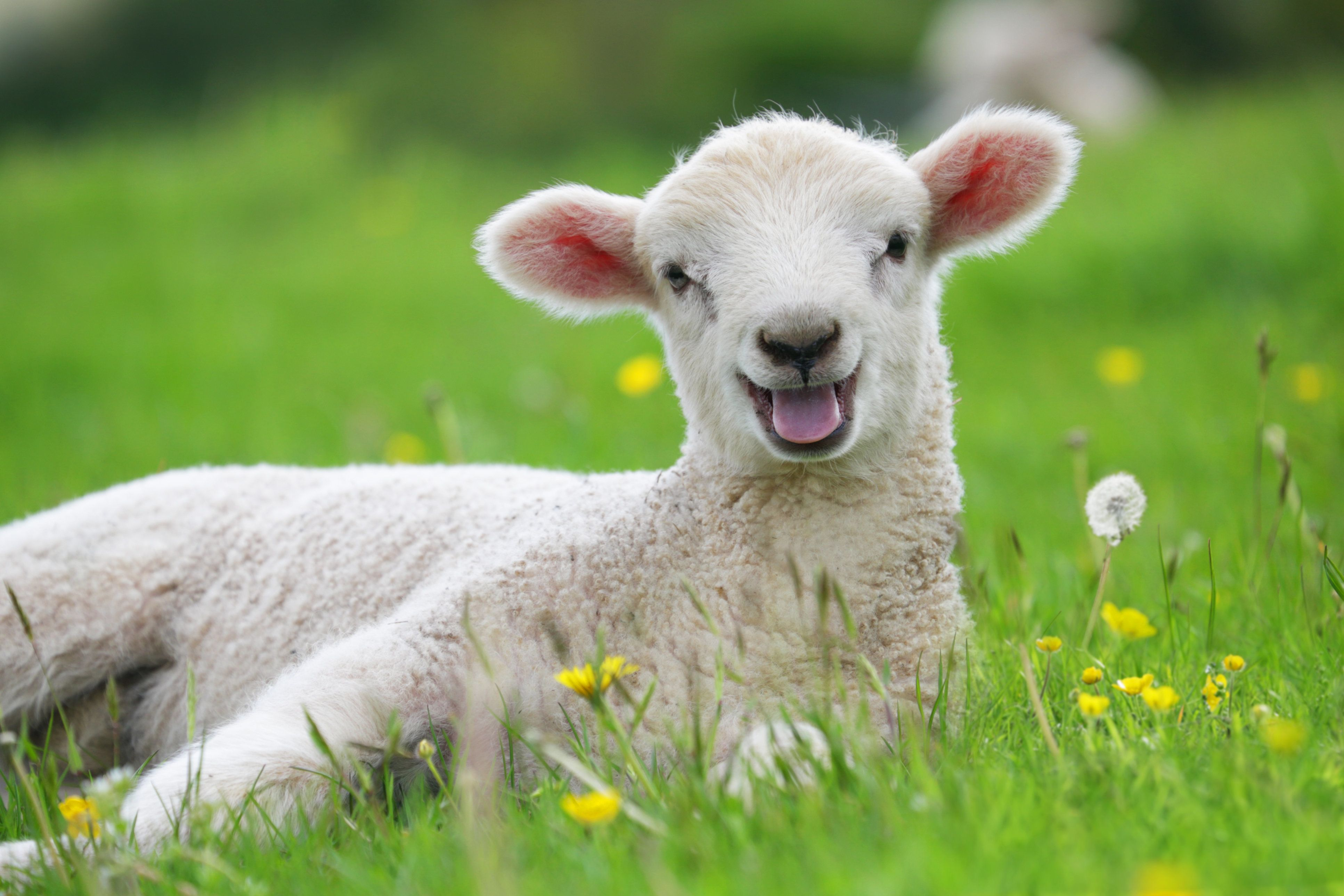 No, Stoned Sheep Aren't Going On Psychotic Rampages Through A Welsh