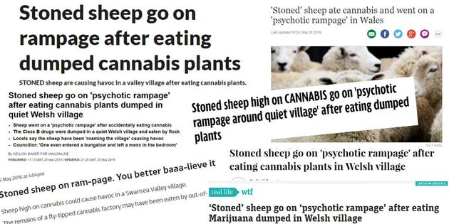 Stoned Sheep Aren't Rampaging In A Welsh Village So Stop Believing