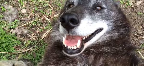 This Wolf Is Just Like A Puppy When She Gets Belly Rubs