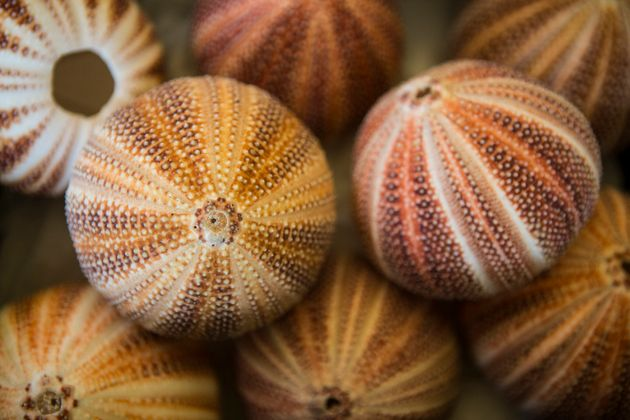 Is Ageing Inevitable? Sea Urchins Could Hold The Key To Living
