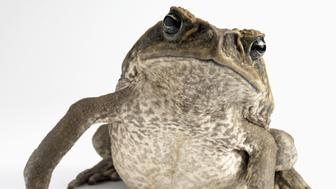 Cut Out Studio Shot of a Cane Toad