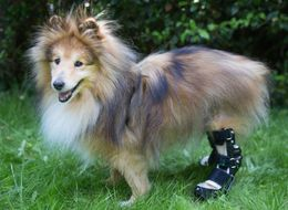 Bionic Legs Turn Ailing Sheepdog Into 'Robo-Dog'