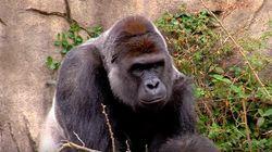 Gorilla Shot Dead After Grabbing Young Boy At Cincinnati