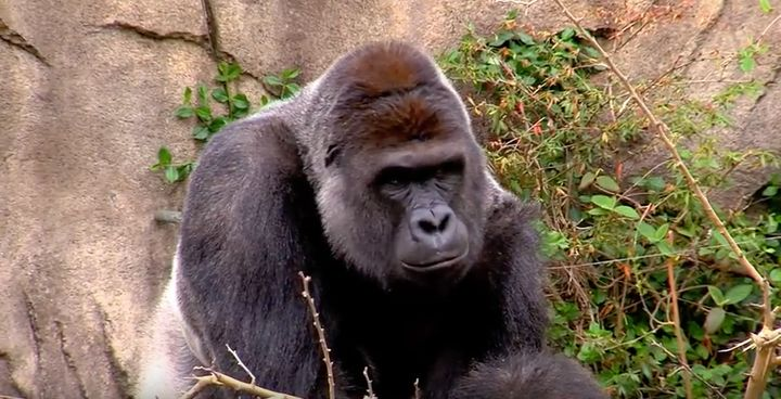 Harambe the gorilla was shot dead at the Cincinnati Zoo on Saturday after grabbing and dragging a 4-year-old boy.
