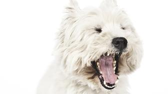 An image of a nice white Terrier