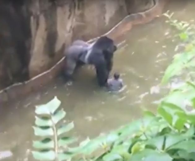 Harambe the gorilla was shot after a boy fell into his enclosure at Cincinnati