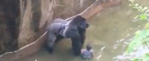 GORILLA BOY KILLED