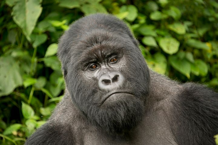 Bukima, a silverback mountain gorilla at Virunga National Park in the Democratic Republic of the Congo.