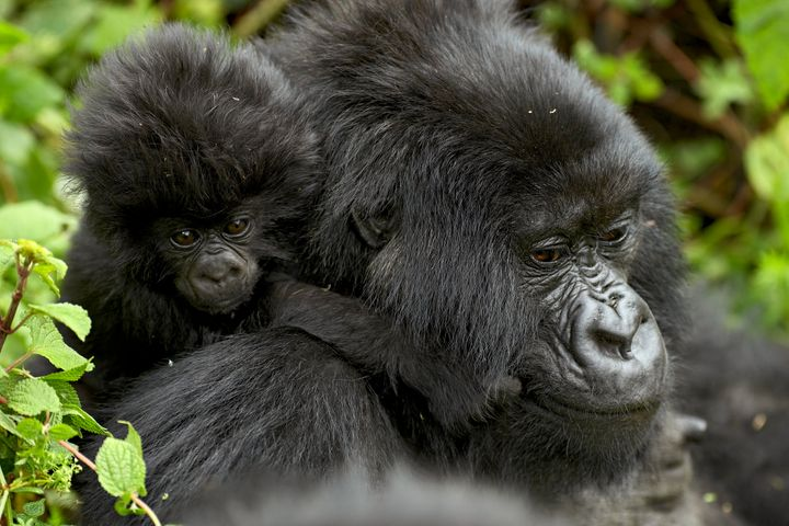 A mother mountain gorilla with her infant at Volcanoes National Park in Rwanda.