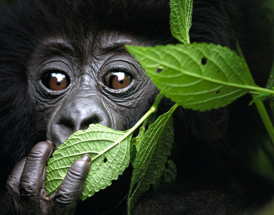 infant mountain gorilla from volcanoes national park, north west rwanda, kwitonda group