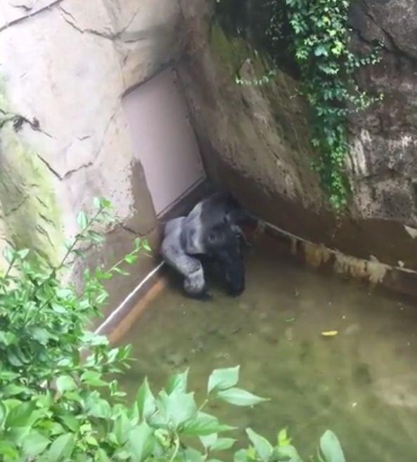 Harambe Video Of Gorilla Shot Dead In Cincinatti Zoo Shows