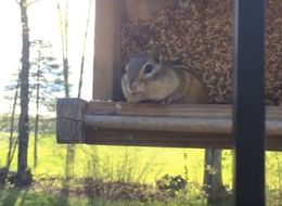 This Chipmunk Getting Caught Red-Handed Will Be The Best 30 Seconds Of Your Day