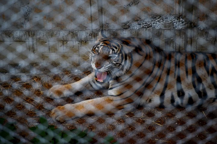 A tiger is seen in an enclosure at the Wat Pha Luang Ta Bua Tiger Temple in Kanchanaburi province, western Thailand on May 30