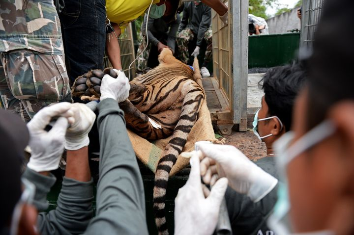 Thai wildlife officials load a tiger into a cage on a truck after they removed it from an enclosure after the tiger was anaes