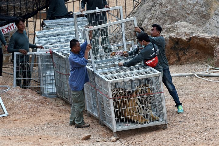 Thai wildlife officials use a tunnel of cages to capture a tiger and remove it from an enclosure at the Wat Pha Luang Ta Bua