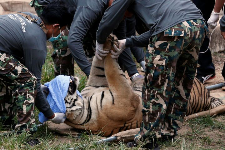 A sedated tiger is stretchered as officials start moving tigers from Thailand's controversial Tiger Temple.
