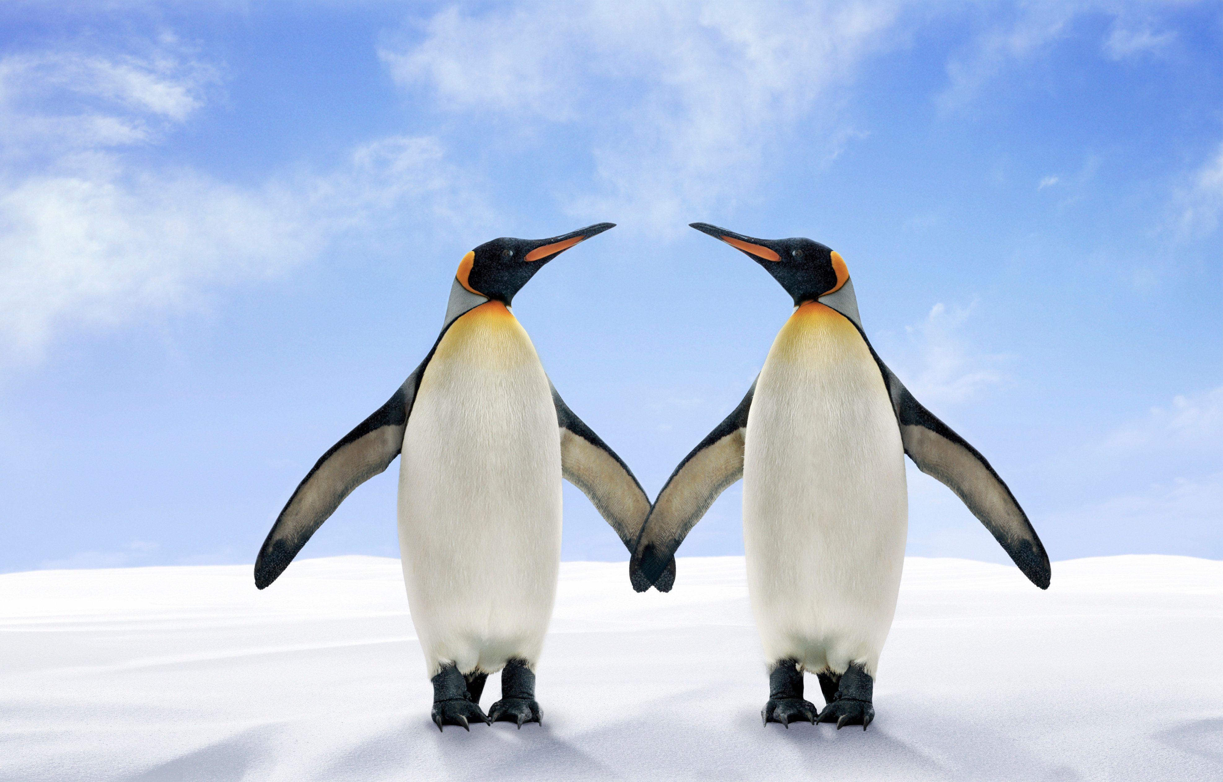 Two King Penguins Stand Side by Side With Their Wings Touching