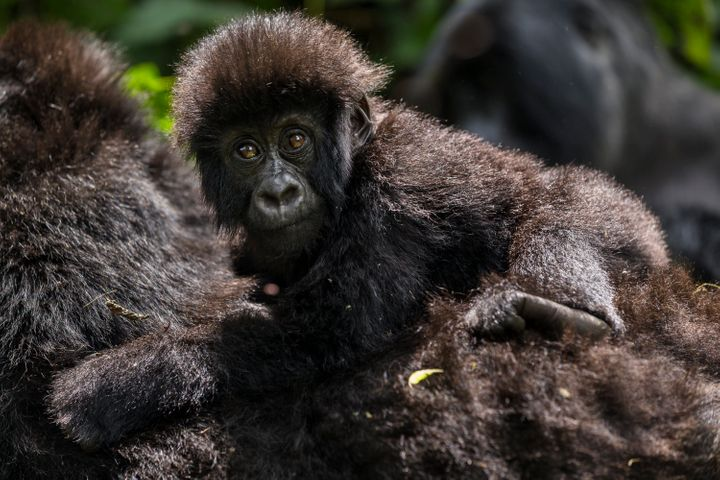 The biggest threatgorillas face comes from humans illegally hunting and consuming the creatures.
