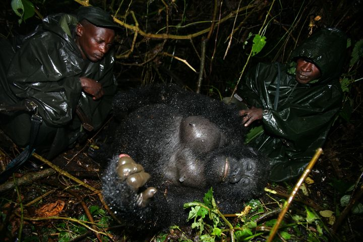 Gorillas in central Africa's Virunga National Park face dire threats from poachers and bushmeat hunters, despite conservation