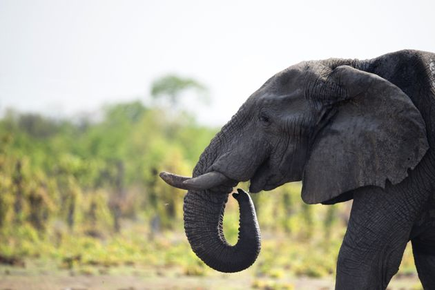 An African elephant in Hwange National Park in Zimbabwe. According to WWF, there are just 600,000 left...