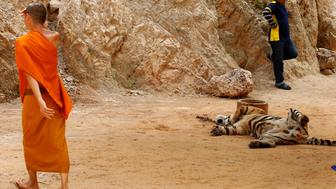 A Buddhist monk walks past a tiger before officials start moving them from Thailand's controversial Tiger Temple, a popular tourist destination which has come under fire in recent years over the welfare of its big cats in Kanchanaburi province, west of Bangkok, Thailand, May 30, 2016. REUTERS/Chaiwat Subprasom
