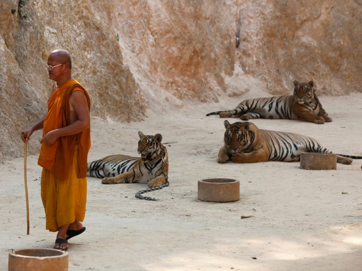 The Buddhist temple is popular with tourists who pay about $20 each to get in and pose for pictures with its tigers, and
