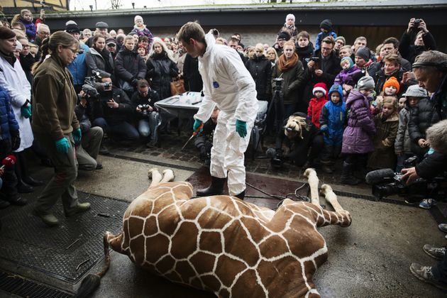 Marius's carcass being dissected in front of a crowd at Copenhagen Zoo on February 9,