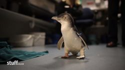 Amputee Penguin To Get New 3-D Printed Foot And He's Werking His