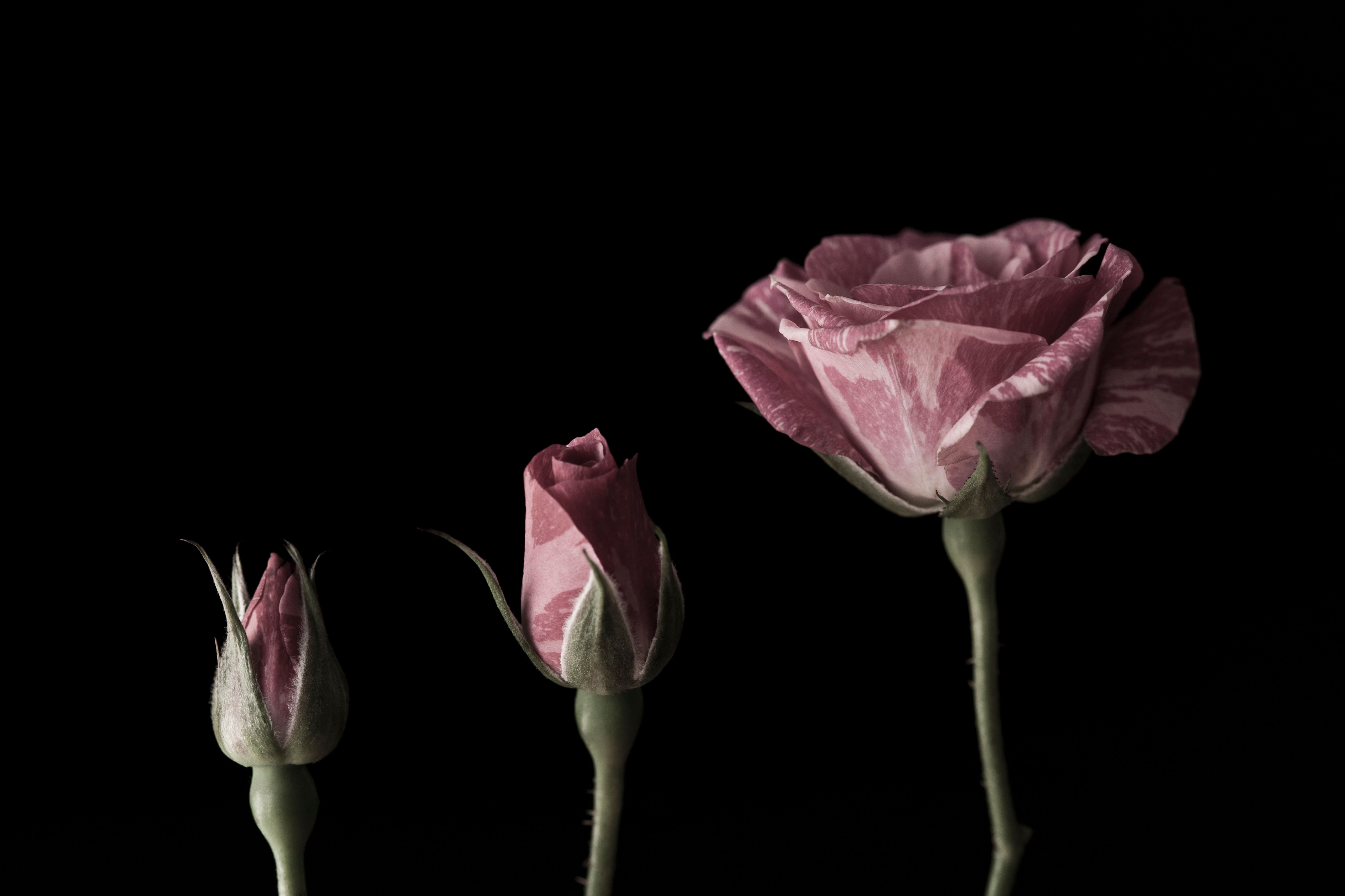 Stages of a rose blooming from bud to flower