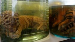 Dead Tiger Cubs Found In Jars Of Liquid At Shamed Tiger