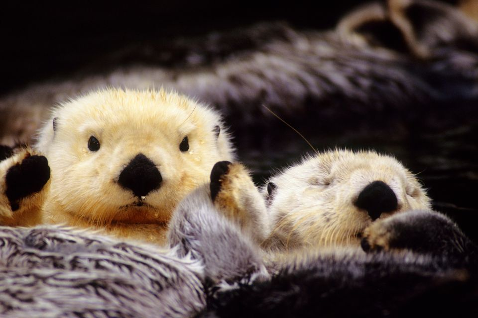 Sea Otter, AK
