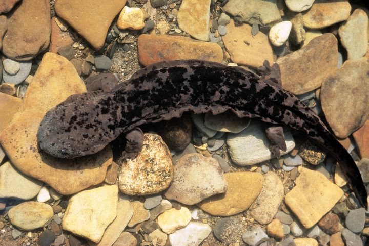 Hellbender salamander.