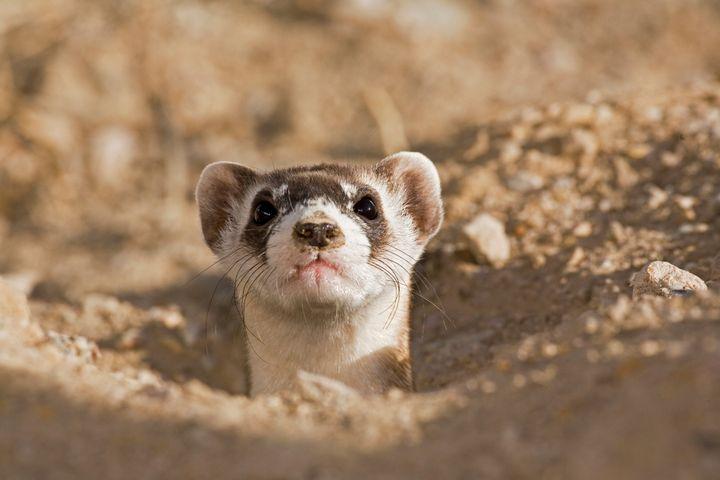 Endangered black footed ferret