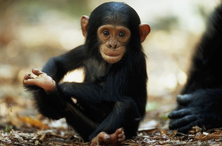 A baby chimpanzee in Tanzania's Mahale Mountains National Park.