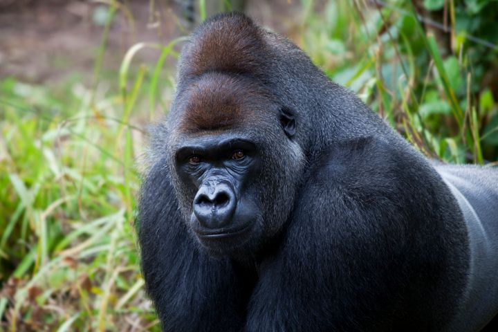 A male silverback gorilla in an unidentified location