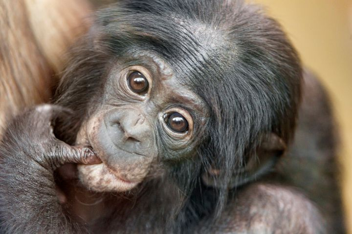 A baby bonobo in a mother's arms.