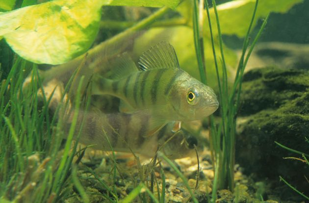 A Swedish researcher found that young perch exposed to high levels of plastic end up preferring plastic...
